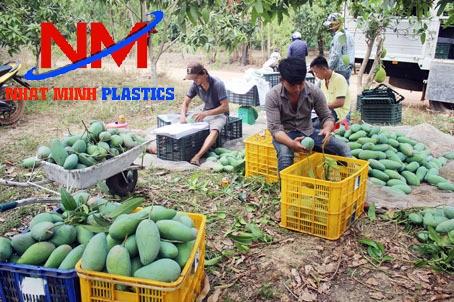 Rổ nhựa công nghiệp loại lớn thu hoạch xoài tại vườn