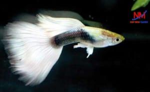 Nuôi cá bằng khay nhựa để đảm bảo cho quá trình sinh trưởng và phát triển tốt của cá